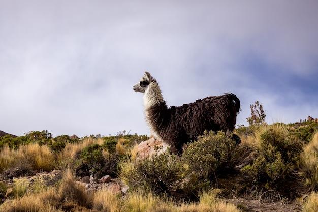 Bolivianisches alpaka auf dem hintergrund der blauen wolken südamerika Premium Fotos