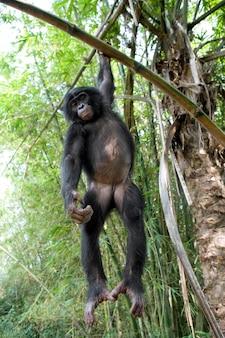 Bonobo auf einem baum. demokratische republik kongo. lola ya bonobo nationalpark.