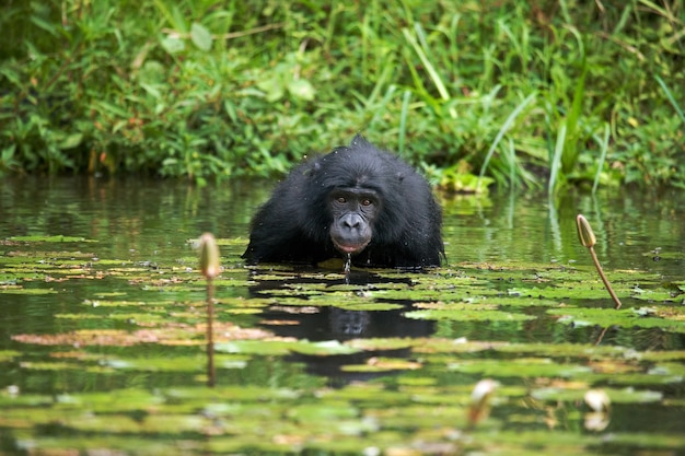 Bonobo sitzt am teich. demokratische republik kongo. lola ya bonobo nationalpark.