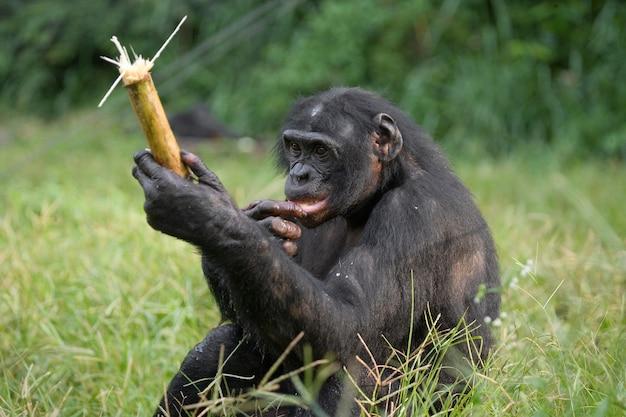 Bonobo sitzt auf dem boden. demokratische republik kongo. lola ya bonobo nationalpark.
