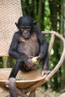 Bonobo sitzt auf einem stuhl. demokratische republik kongo. lola ya bonobo nationalpark.