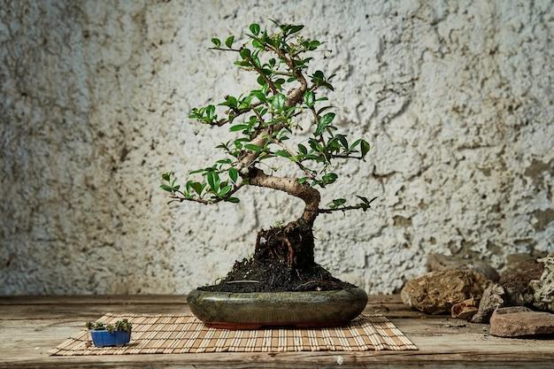 Bonsai-baum auf einem arbeitstisch zur wartung