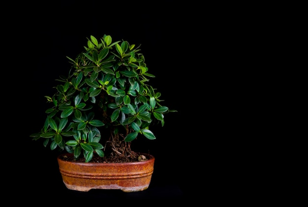 Bonsai-baum auf einem schwarzen hintergrund des tisches
