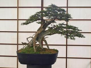 Bonsai baum