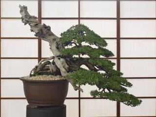 Bonsai, klein