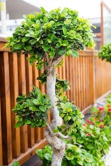 Bonsaibäume gepflanzt in den schönen dekorativen töpfen in der straße