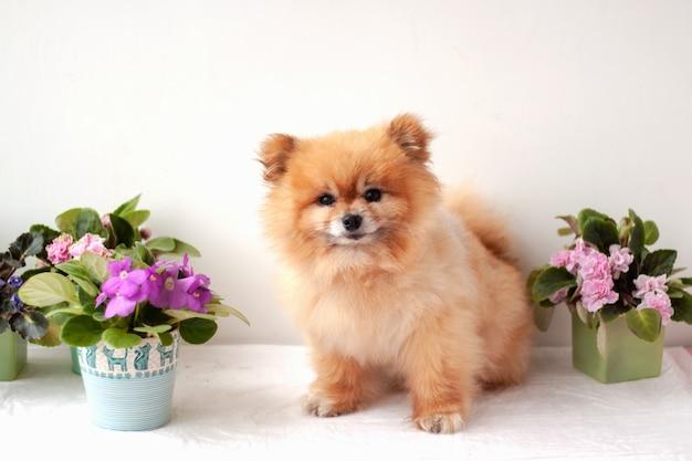 Boo bär pommersche teddybär orange farbe des hundes sitzt in der nähe der veilchen in verschiedenen farben.