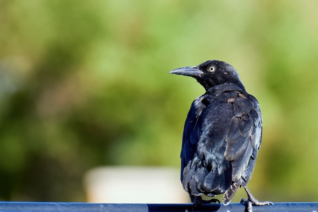 Boot-tailed grackle in nevada, usa