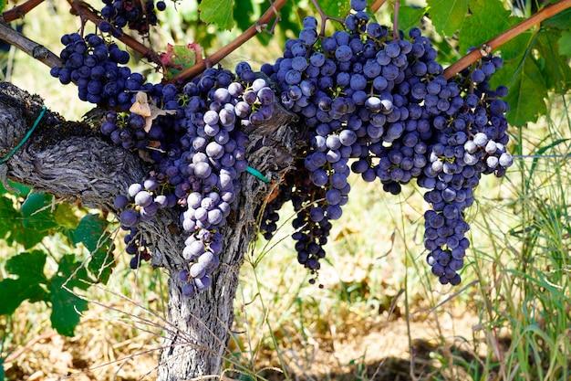 Bordeauxrote weinrebe im heiligen emilion frankreich
