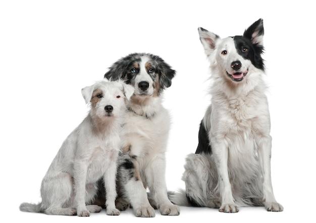 Border collie, 4 jahre alt, parson russell terrier und australian shepherd, 4 monate alt,