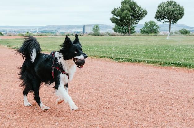 Border collie hund läuft mit einem gummiball im maul.