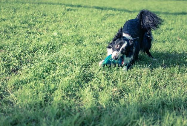 Border-collie-hund mit fliegendem scheibenspielzeug