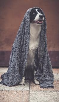 Border collie posiert mit ihrer jedi-weste