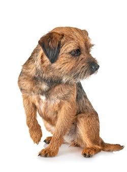 Border terrier isoliert