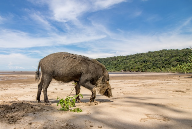 Bornean bärtiges schwein sus barbatus am strand