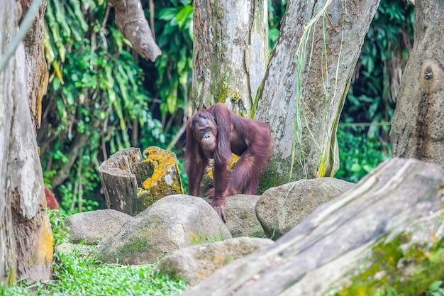 Bornean orang-utan steht auf steinen