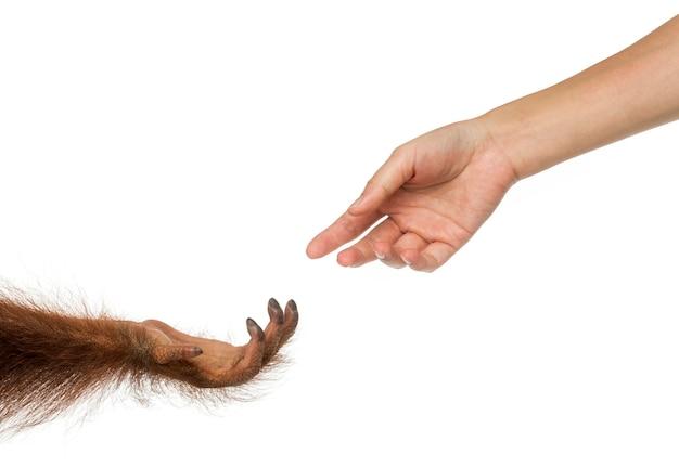 Borneanischer orang-utan und menschliche hände, die sich gegenseitig erreichen, pongo pygmaeus, 18 monate alt, isoliert auf weiß