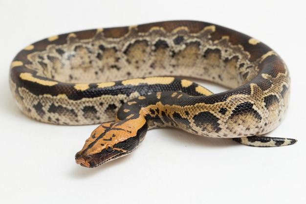 Borneo shorttailed blut pythonschlange python curtus breitsteini isoliert