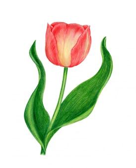 Botanische aquarellillustration der roten tulpe weinlese