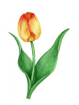 Botanische illustration des gelben tulpenweinleseaquarells