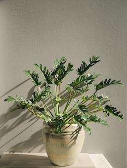 Botanische tropische zimmerpflanze des philodendron xanadu im schönen grünen keramiktopf, zementwand