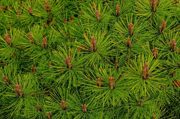 Botanischer hintergrund - blühende kiefern im frühjahr. schöner gepflegter garten