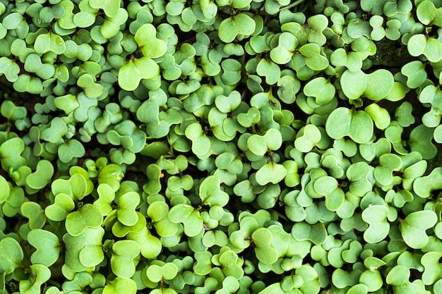 Botanischer hintergrund des grünen frischen kleepflanzenfrühlings