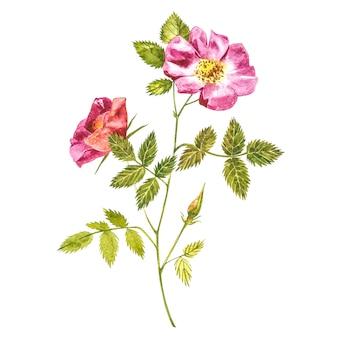 Botanisches aquarell der wilden rosafarbenen blume. aquarellsatz hagebuttenblumen und blätter, hand gezeichnete blumenillustration lokalisiert