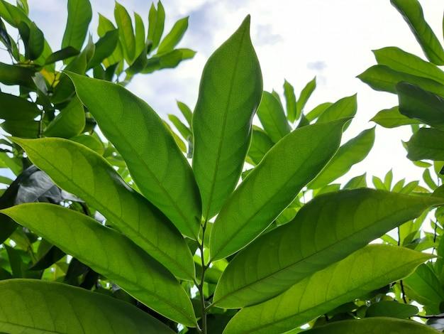 Botanisches detail von kantali-champablättern