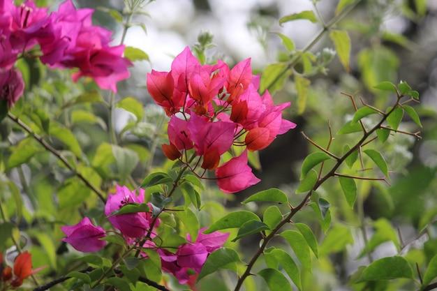 Bougainvillea glabra busch Premium Fotos