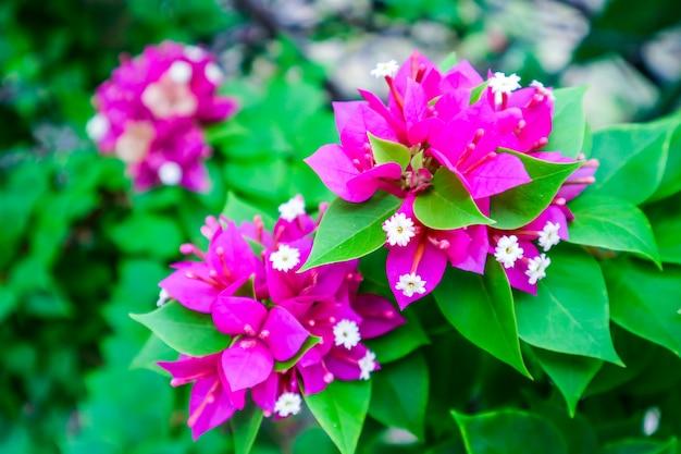 Bouganvilla magentafarbene farbe und weißes blütenstaubblühen