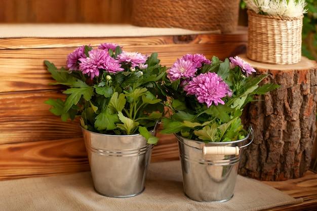 Bouquet chrysanthemen, die im topf in der terrasse wachsen. gartenarbeit. eingetopfte chrysantheme auf hintergartengarten.