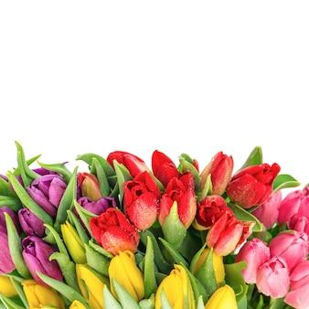 Bouquet von frischen mehrfarbentulpen auf weißem hintergrund. frühlingsblumen mit wassertropfen