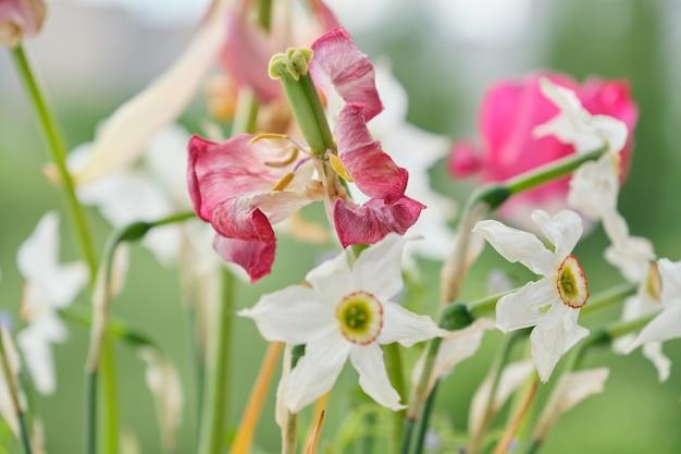 Bouquet von verblassten frühlingsblumen, tulpen und weißen narzissen ausgetrocknet