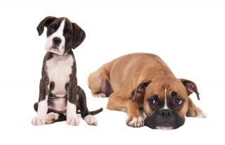 Boxer-hunde