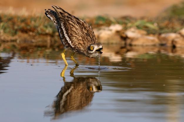 Brachvogel mit den ersten lichtern der morgendämmerung an einem wasserpunkt
