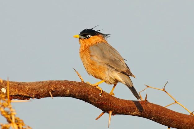 Brahminy starling sturnus pagodarum schöne vögel von thailand