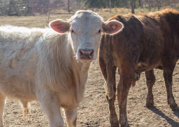 Brangus kühe und kälber in der argentinischen landschaft