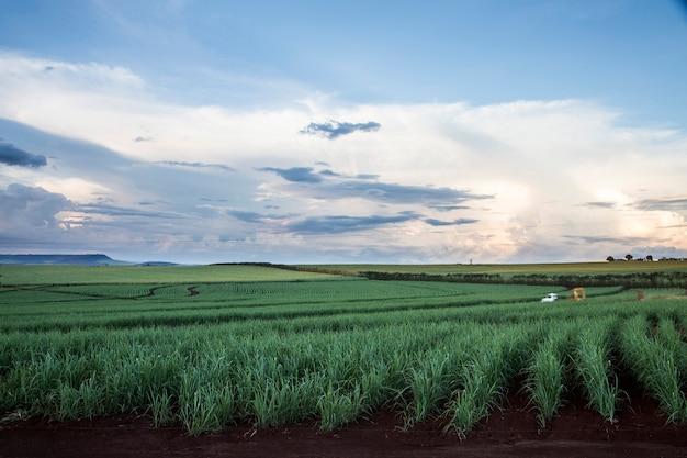 Brasilianische zuckerrohrfelder am sonnenuntergang.