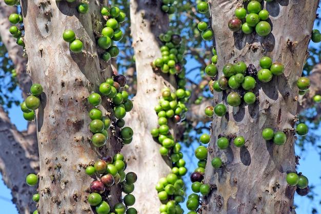 Brasilianischer grapetree oder jabuticabeira mit unreifen früchten