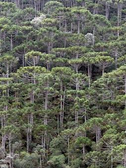 Brasilianischer höhenwald