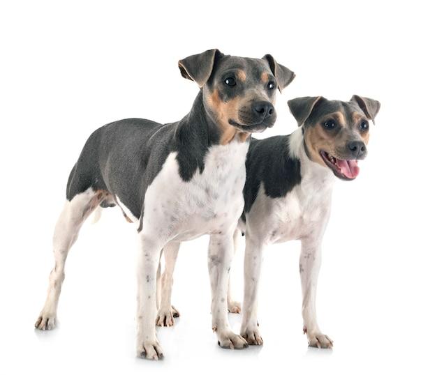 Brasilianischer terrierhund