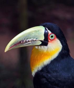 Brasilianisches tukan