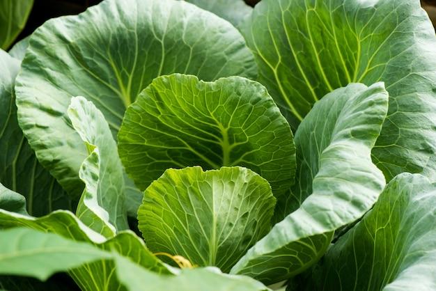 Brassica oleracea-baum auf naturhintergrund.