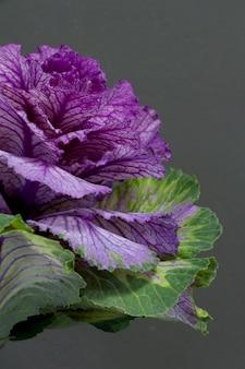 Brassica oleracea capitata oder dekorativer kohl auf grauem hintergrund, grußkarte oder konzept