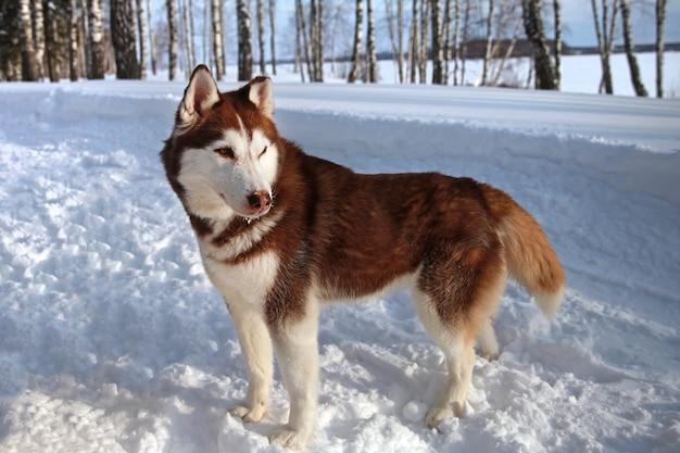 Braun-weißes sibirisches husky-hundeporträt auf dem schnee husky mit bunten augen in der natur