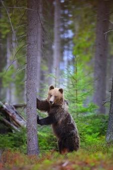 Braunbär, der auf hinterbeinen durch baum im wald steht