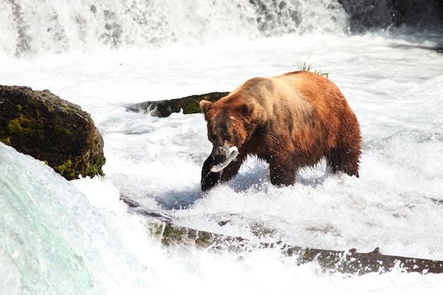 Braunbär, der einen fisch im fluss in alaska fängt