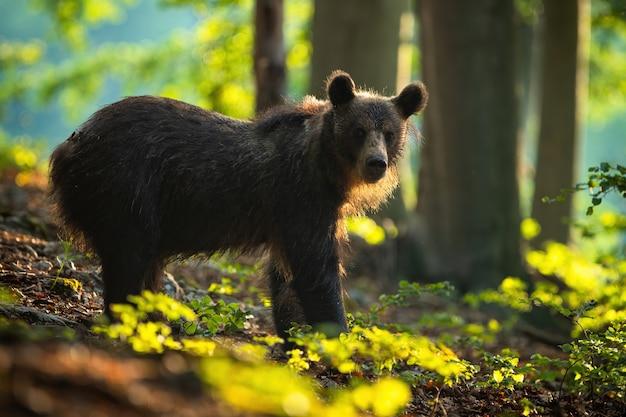 Braunbär, der von seitenansicht im sommerwald bei sonnenaufgang beobachtet.