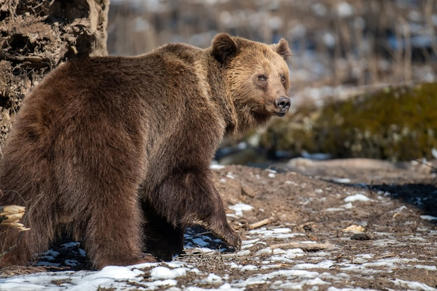 Braunbär im wald hautnah. wildtierszene aus der frühlingsnatur. wildtier im natürlichen lebensraum